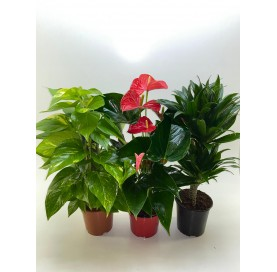 Tutor-Compacta-Anthurium...