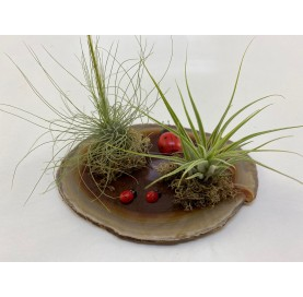 Montaje 2 Tillandsia base...
