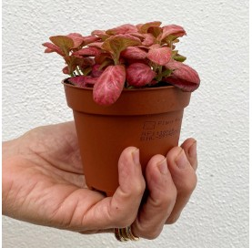 Fittonia pink special 5