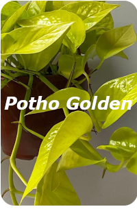 Potho Golden